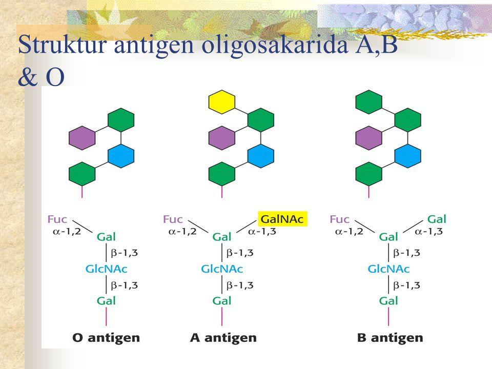 Struktur antigen oligosakarida A,B & O