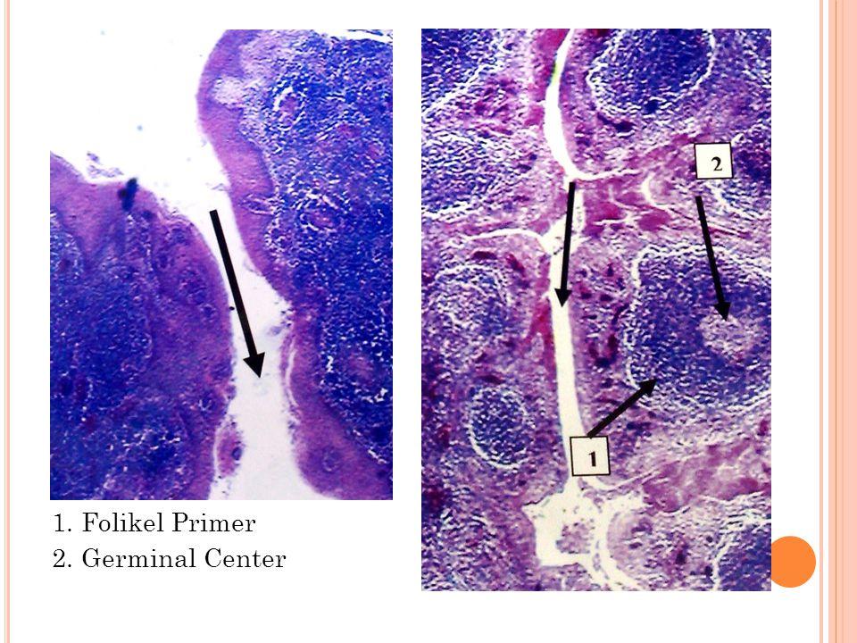 1. Folikel Primer 2. Germinal Center