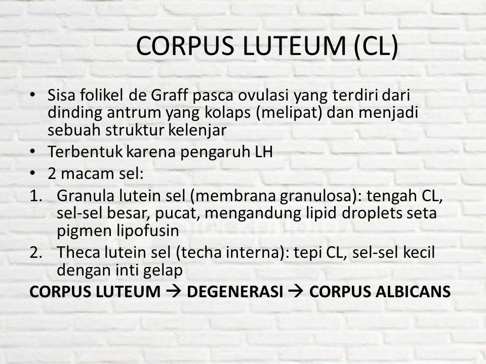 CORPUS LUTEUM (CL) Sisa folikel de Graff pasca ovulasi yang terdiri dari dinding antrum yang kolaps (melipat) dan menjadi sebuah struktur kelenjar.