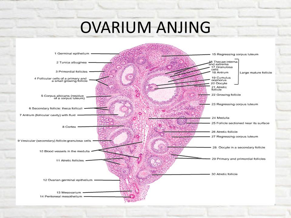 OVARIUM ANJING