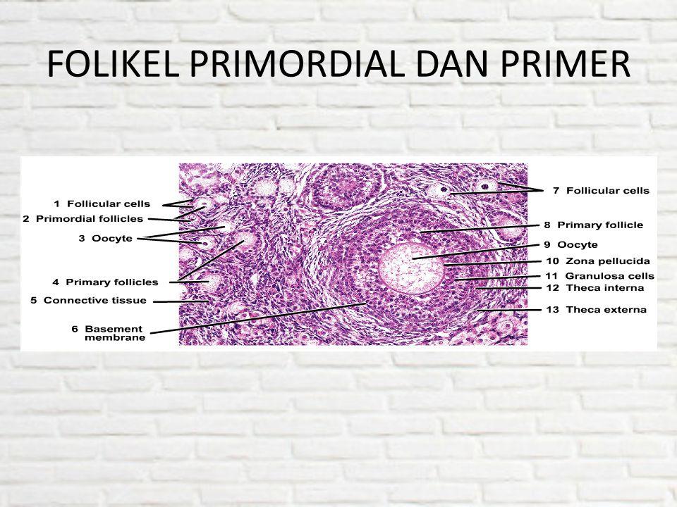 FOLIKEL PRIMORDIAL DAN PRIMER