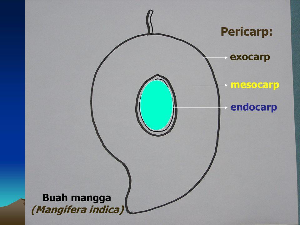 Pericarp: exocarp mesocarp endocarp Buah mangga (Mangifera indica)