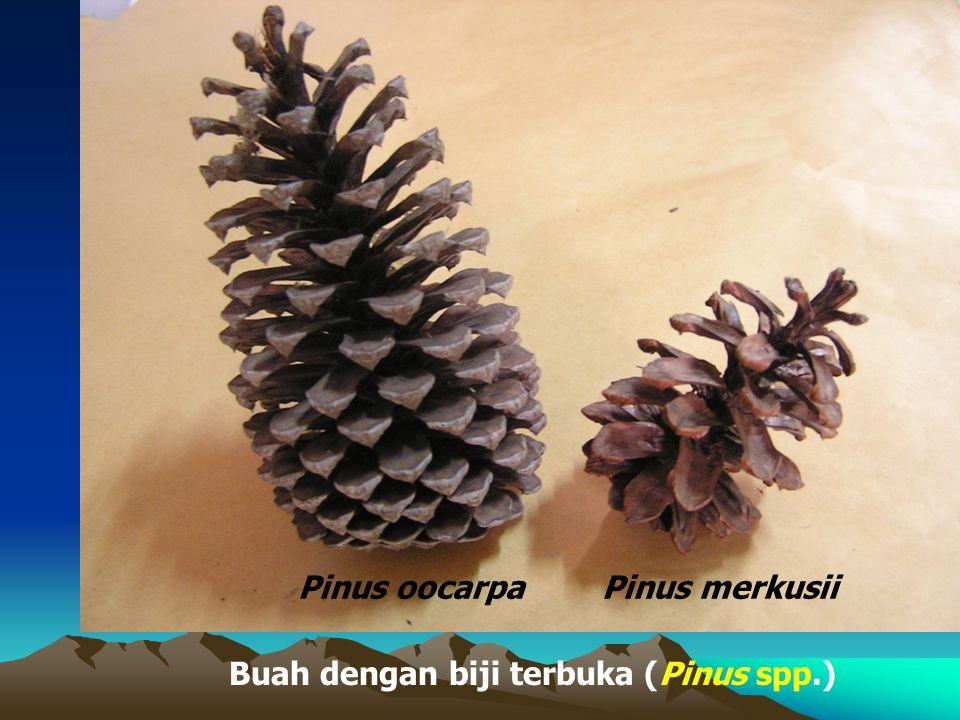 Buah dengan biji terbuka (Pinus spp.)