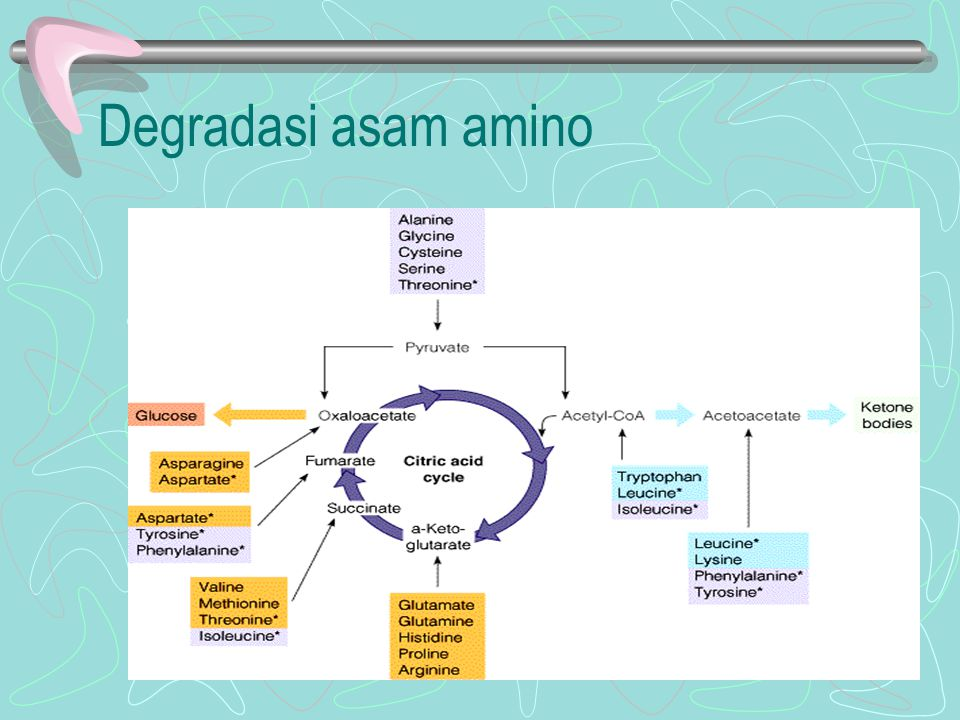 Degradasi asam amino