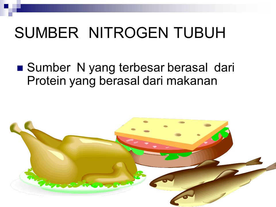 SUMBER NITROGEN TUBUH Sumber N yang terbesar berasal dari Protein yang berasal dari makanan