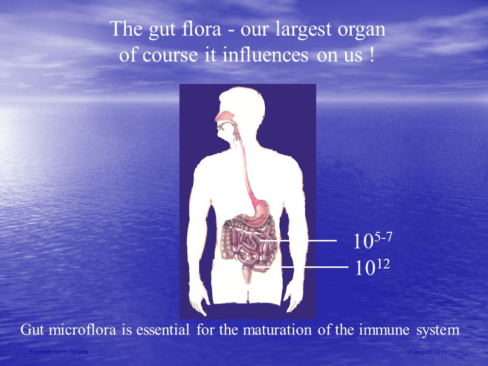 The gut flora - our largest organ of course it influences on us !