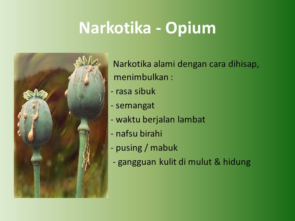 Narkotika - Opium Narkotika alami dengan cara dihisap, menimbulkan :