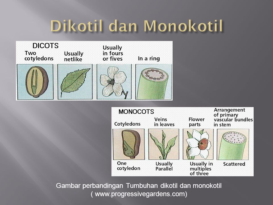 Dikotil dan Monokotil Gambar perbandingan Tumbuhan dikotil dan monokotil.