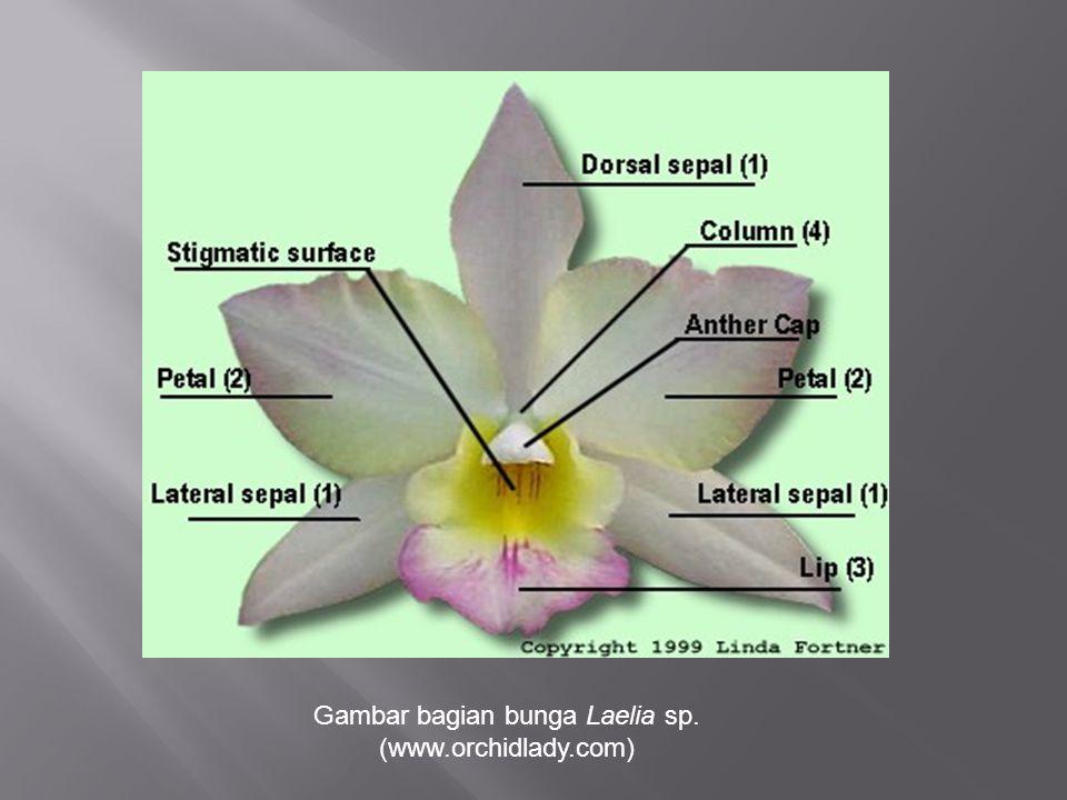 Gambar bagian bunga Laelia sp.