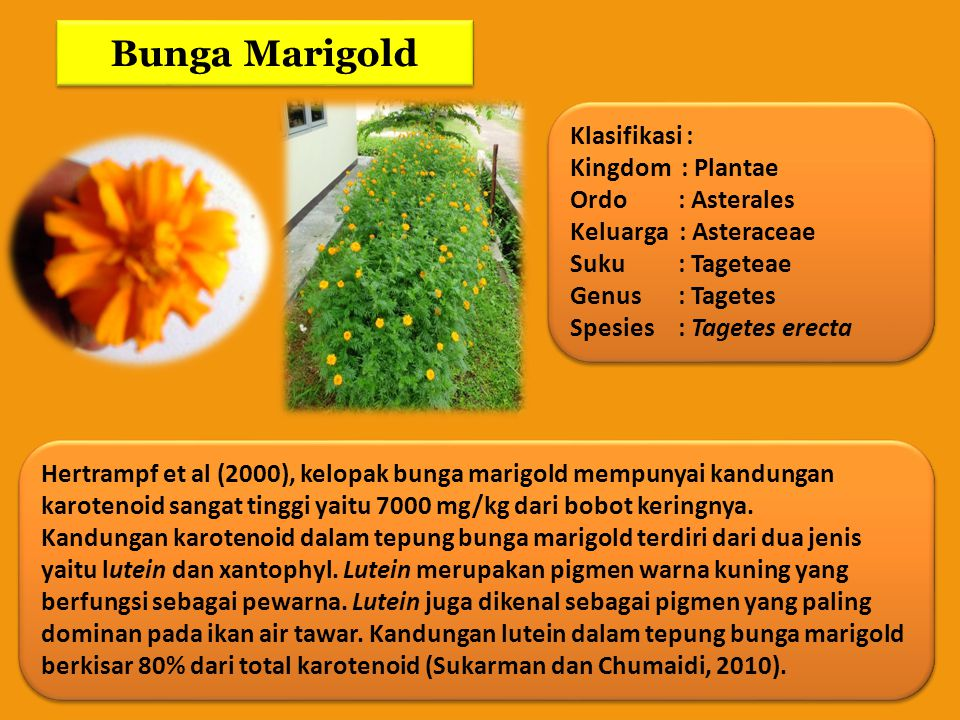 Bunga Marigold Klasifikasi : Kingdom : Plantae Ordo : Asterales