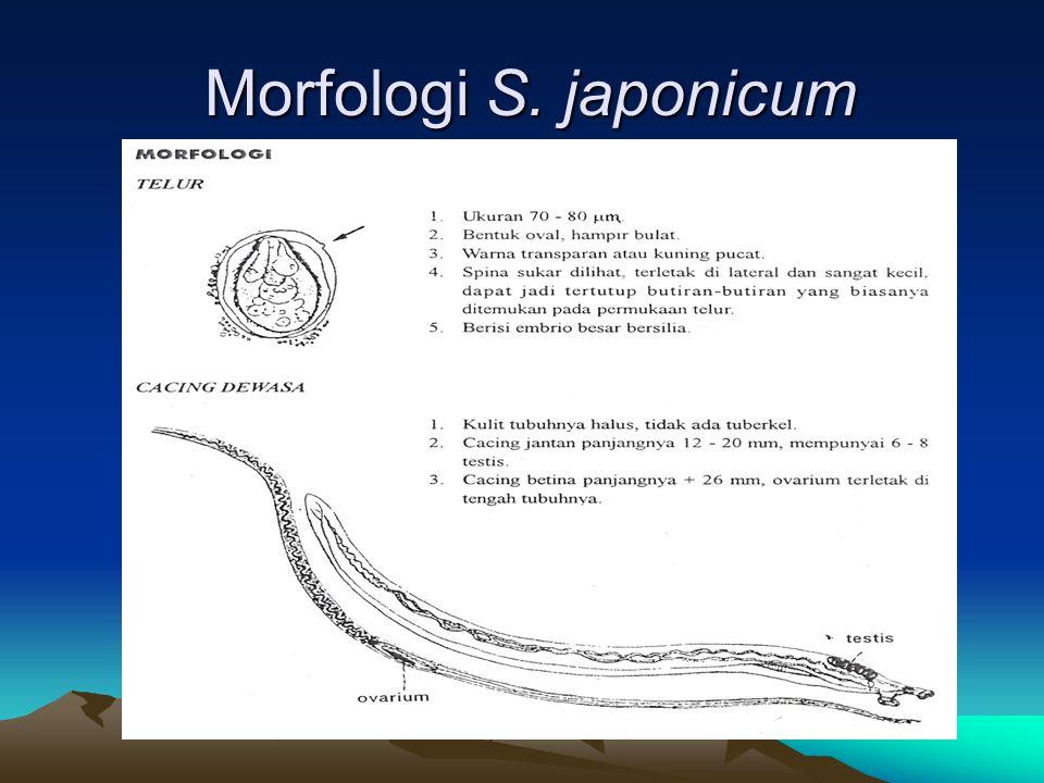 Morfologi S. japonicum