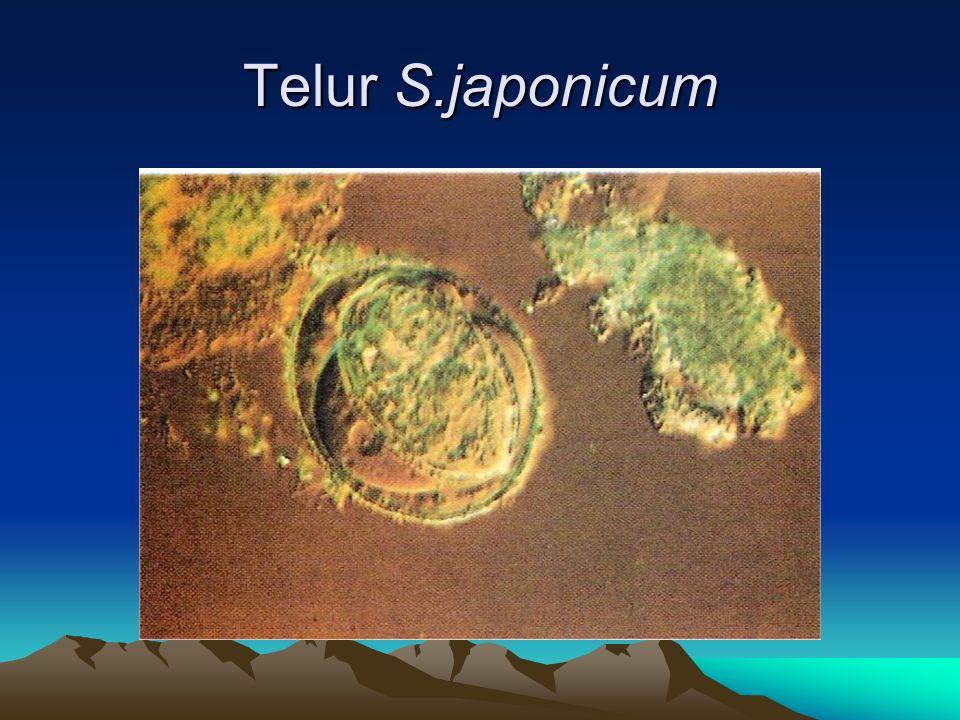 Telur S.japonicum