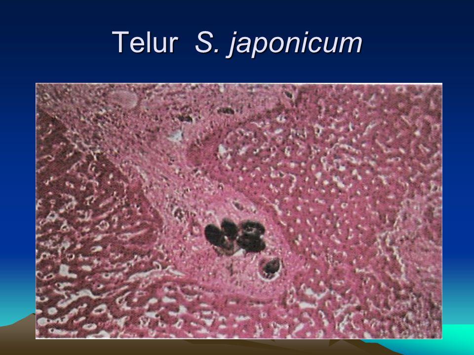 Telur S. japonicum