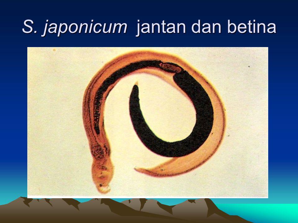 S. japonicum jantan dan betina