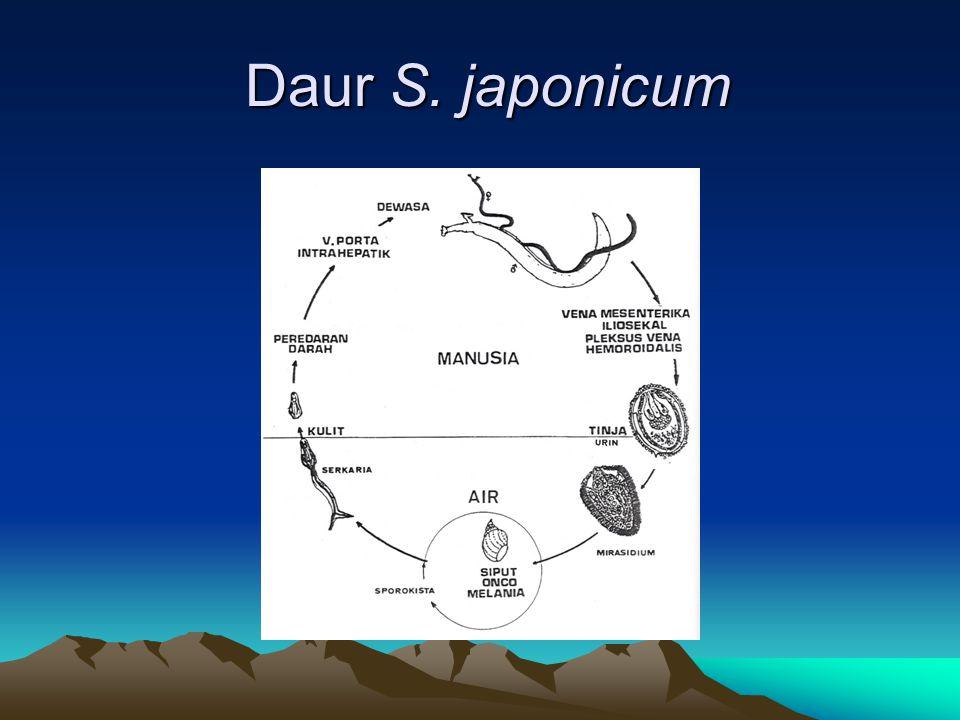 Daur S. japonicum