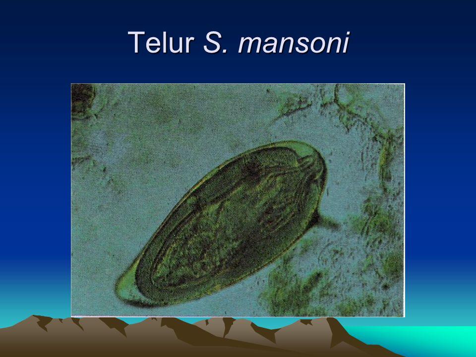 Telur S. mansoni