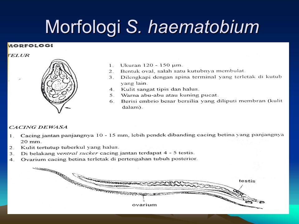 Morfologi S. haematobium