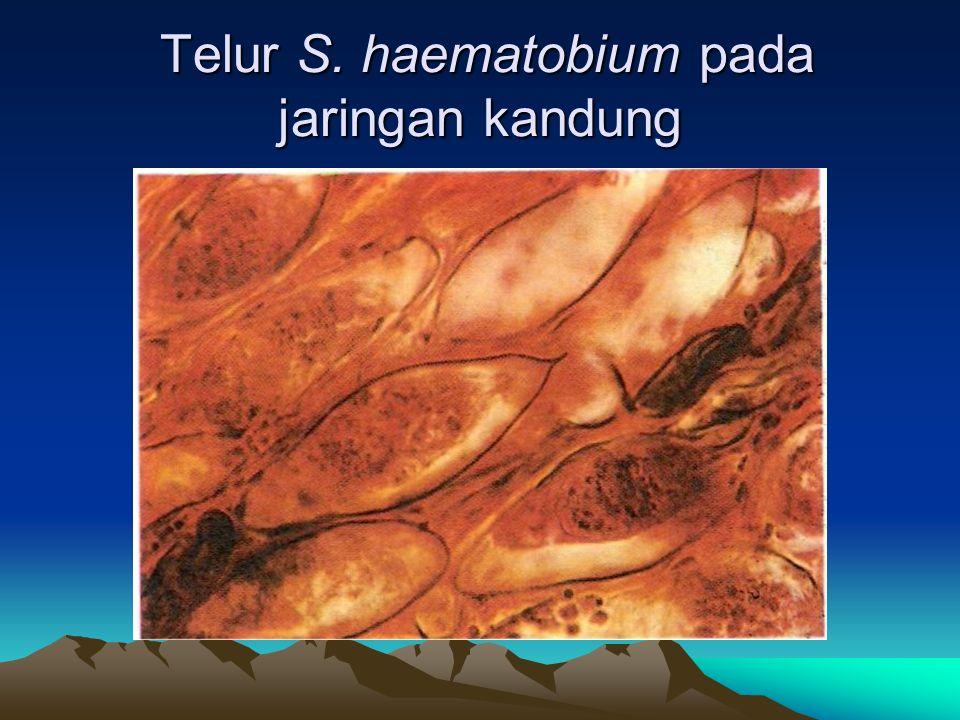 Telur S. haematobium pada jaringan kandung