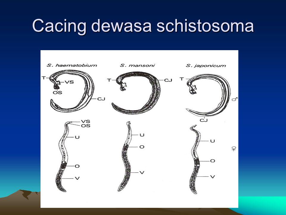 Cacing dewasa schistosoma