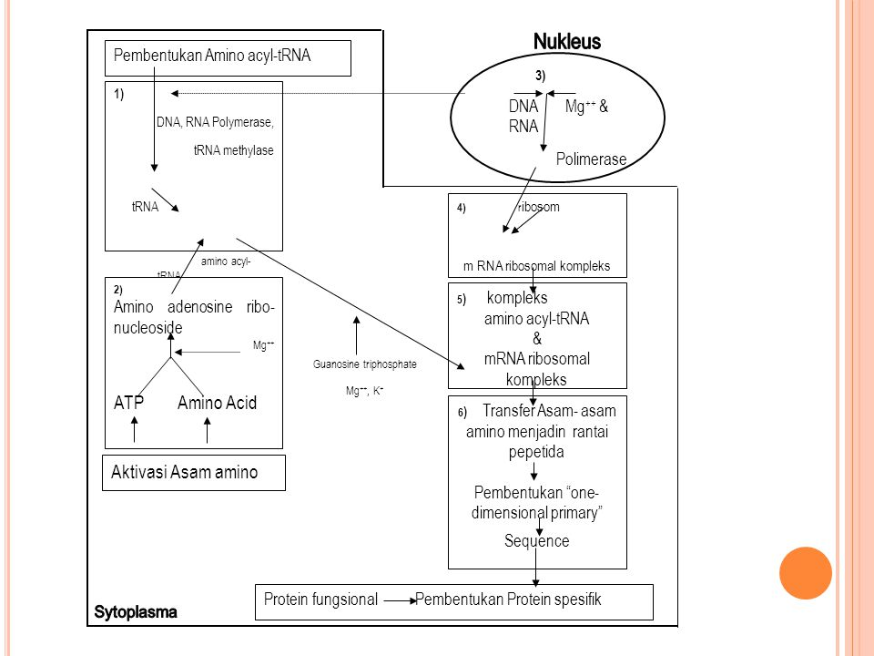 Nukleus Sytoplasma ATP Amino Acid Aktivasi Asam amino