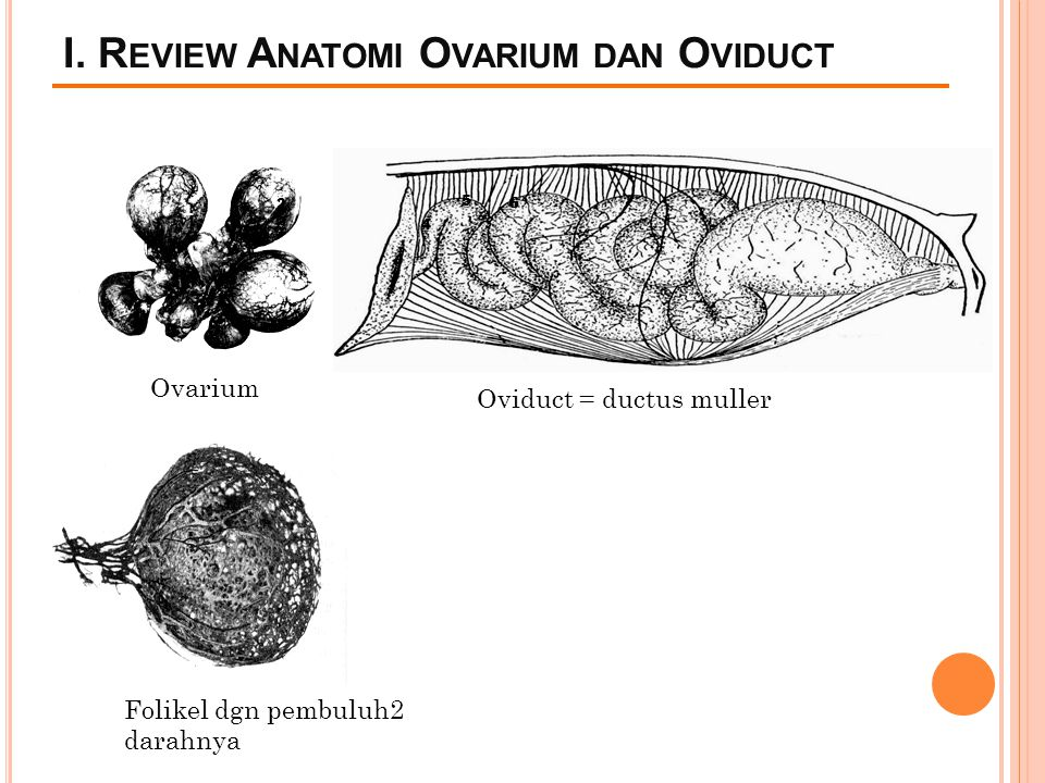 I. Review Anatomi Ovarium dan Oviduct
