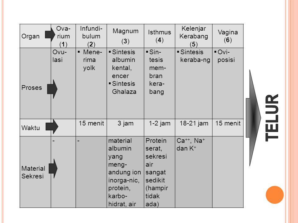 TELUR Organ Ova-rium (1) Infundi-bulum (2) Magnum (3) Isthmus (4)