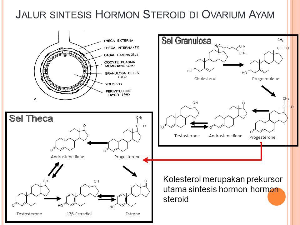 Sel Granulosa Sel Theca Jalur sintesis Hormon Steroid di Ovarium Ayam