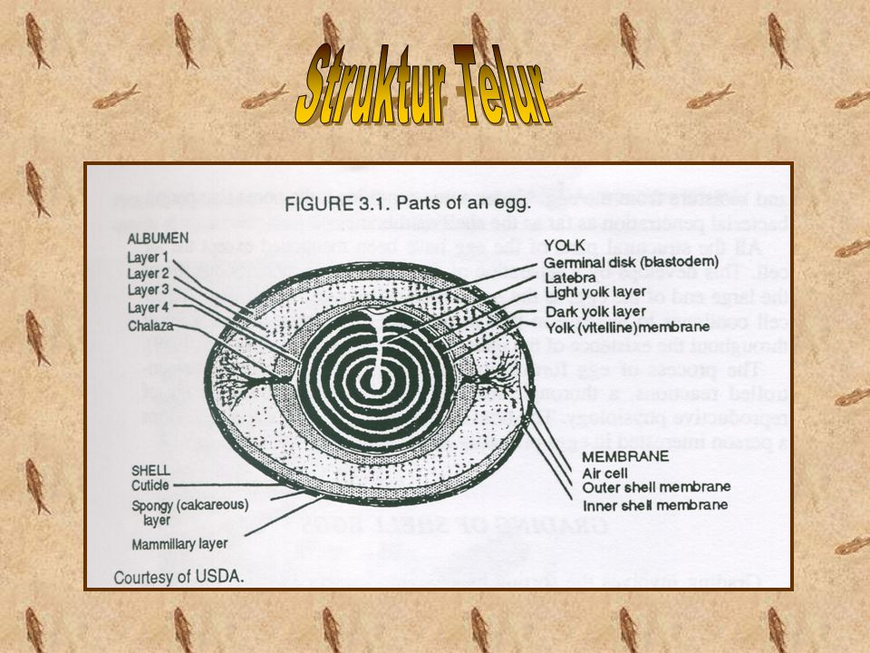 Struktur Telur