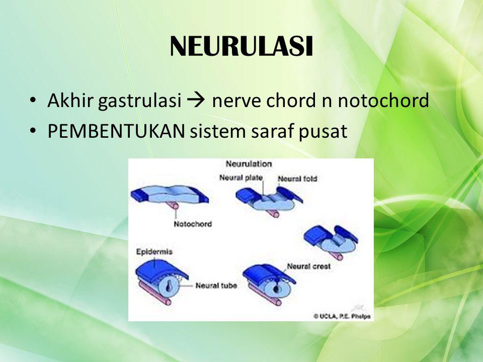 NEURULASI Akhir gastrulasi  nerve chord n notochord