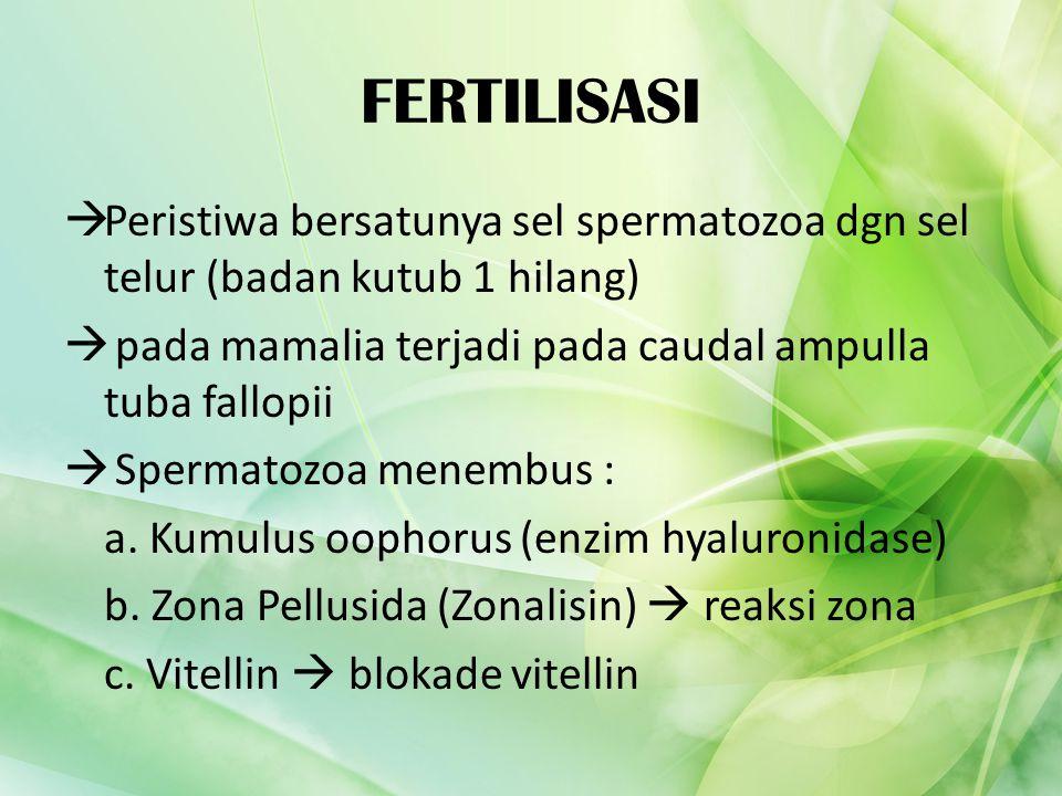 FERTILISASI Peristiwa bersatunya sel spermatozoa dgn sel telur (badan kutub 1 hilang) pada mamalia terjadi pada caudal ampulla tuba fallopii.