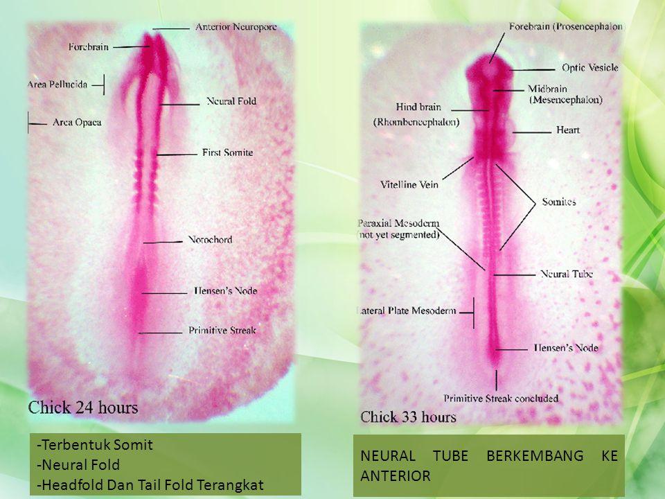 Terbentuk Somit Neural Fold Headfold Dan Tail Fold Terangkat NEURAL TUBE BERKEMBANG KE ANTERIOR