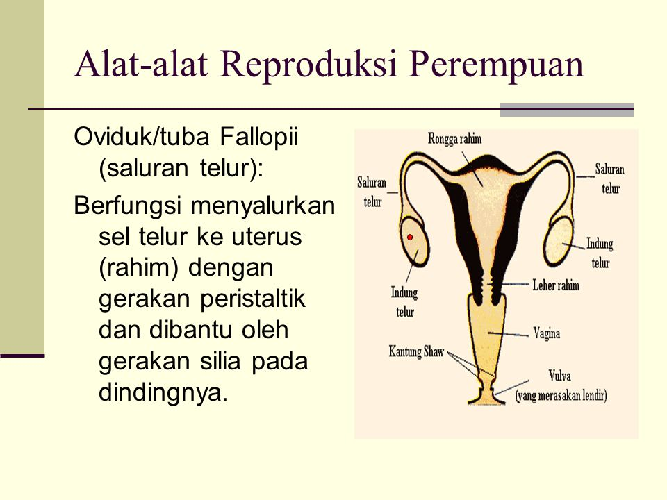 Alat-alat Reproduksi Perempuan