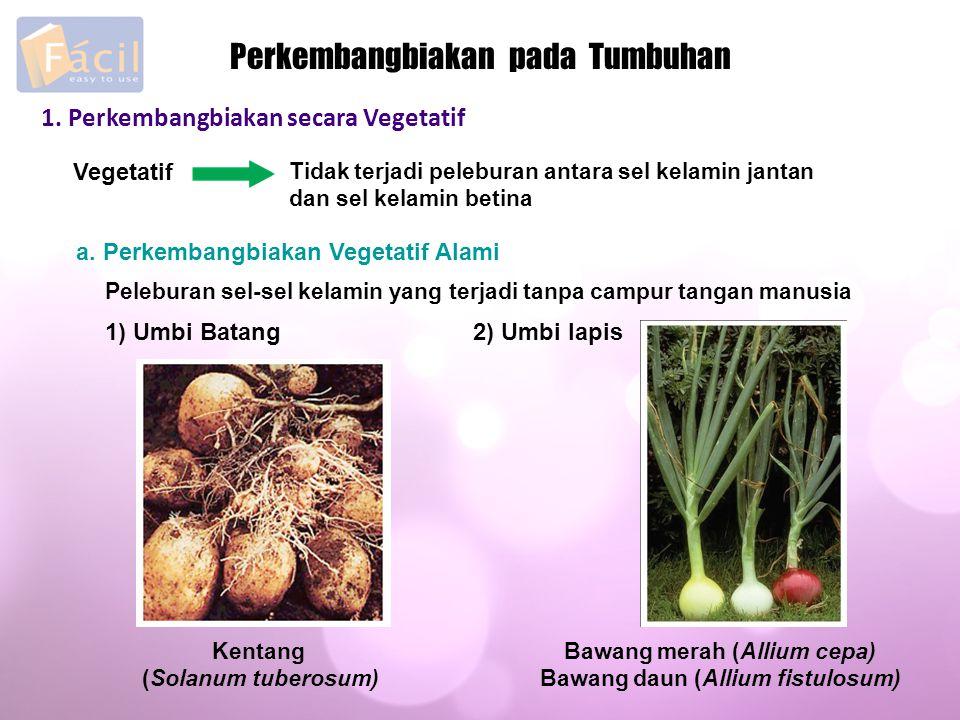 Bawang merah (Allium cepa) Bawang daun (Allium fistulosum)