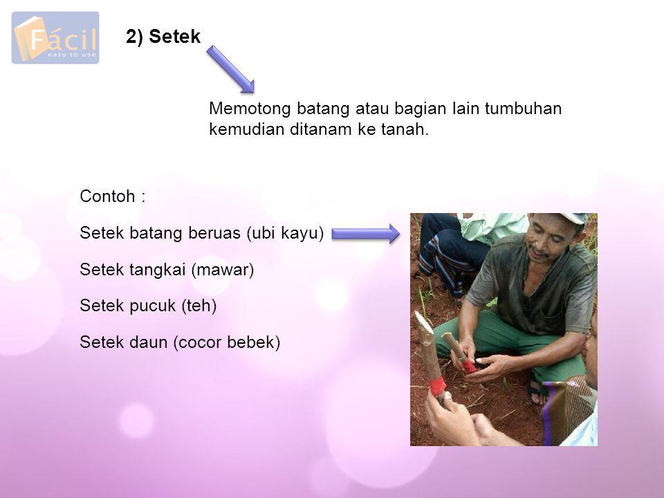 2) Setek Memotong batang atau bagian lain tumbuhan kemudian ditanam ke tanah. Contoh : Setek batang beruas (ubi kayu)