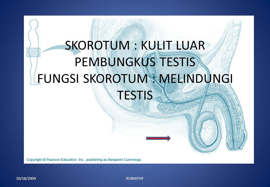 SKOROTUM : KULIT LUAR PEMBUNGKUS TESTIS FUNGSI SKOROTUM : MELINDUNGI TESTIS