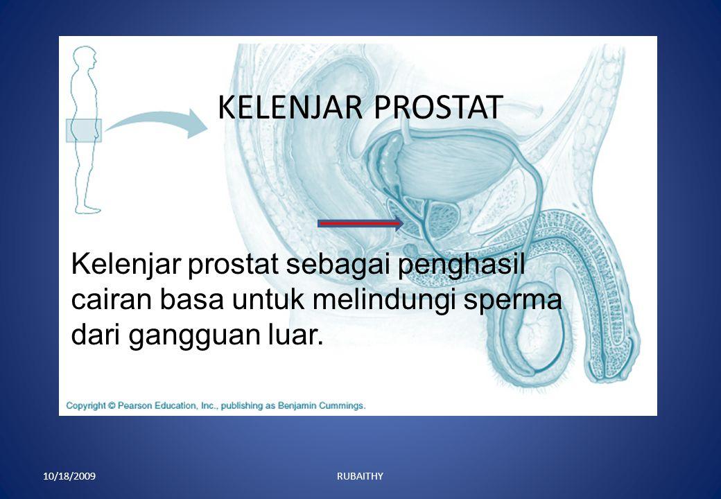 KELENJAR PROSTAT Kelenjar prostat sebagai penghasil cairan basa untuk melindungi sperma dari gangguan luar.