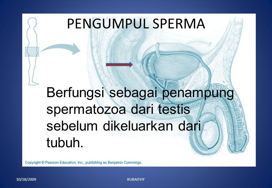 PENGUMPUL SPERMA Berfungsi sebagai penampung spermatozoa dari testis sebelum dikeluarkan dari tubuh.