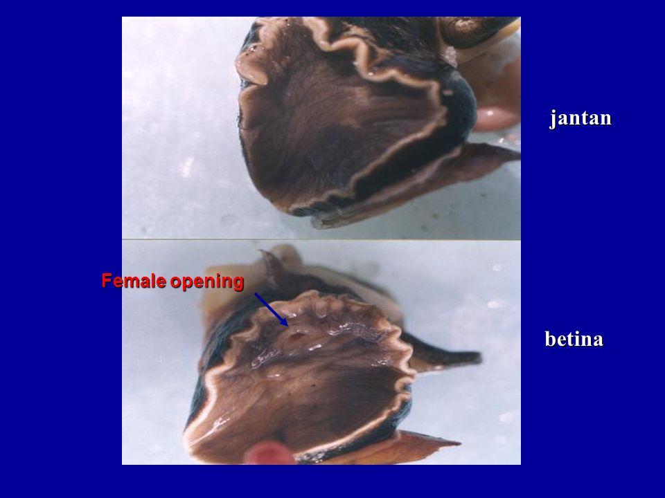 jantan Female opening betina
