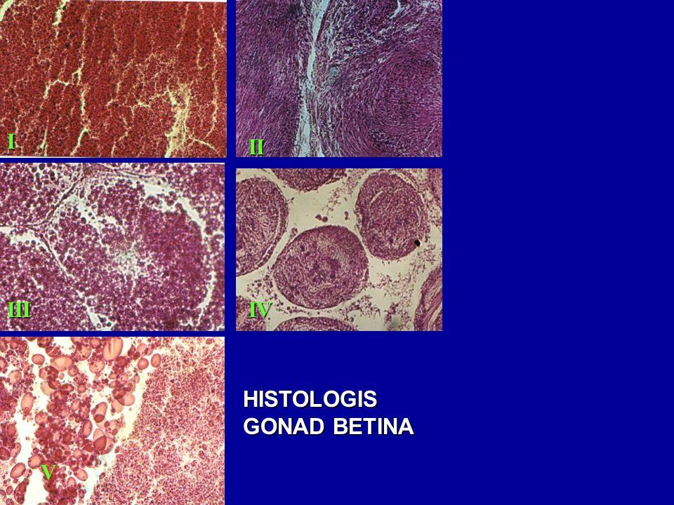 I II III IV HISTOLOGIS GONAD BETINA V