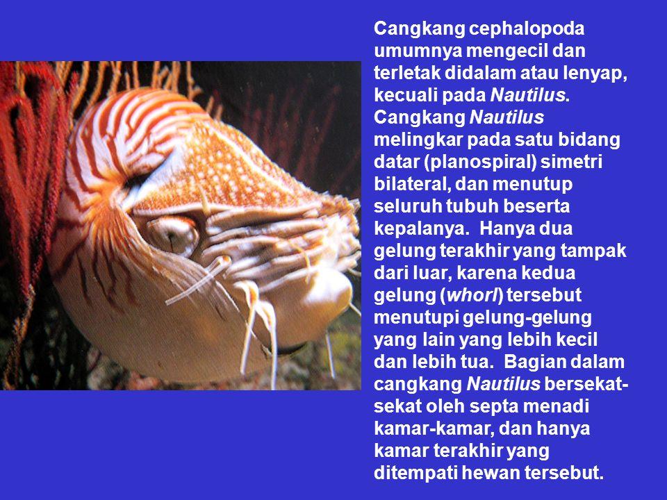Cangkang cephalopoda umumnya mengecil dan terletak didalam atau lenyap, kecuali pada Nautilus.