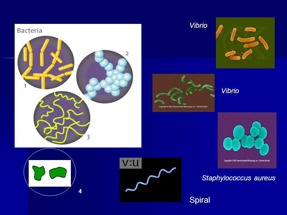 Vibrio Vibrio Staphylococcus aureus 4 Spiral