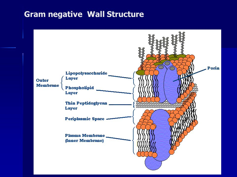 Gram negative Wall Structure