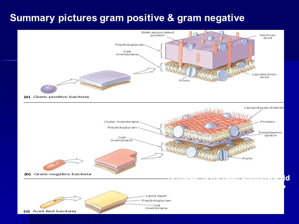 Summary pictures gram positive & gram negative
