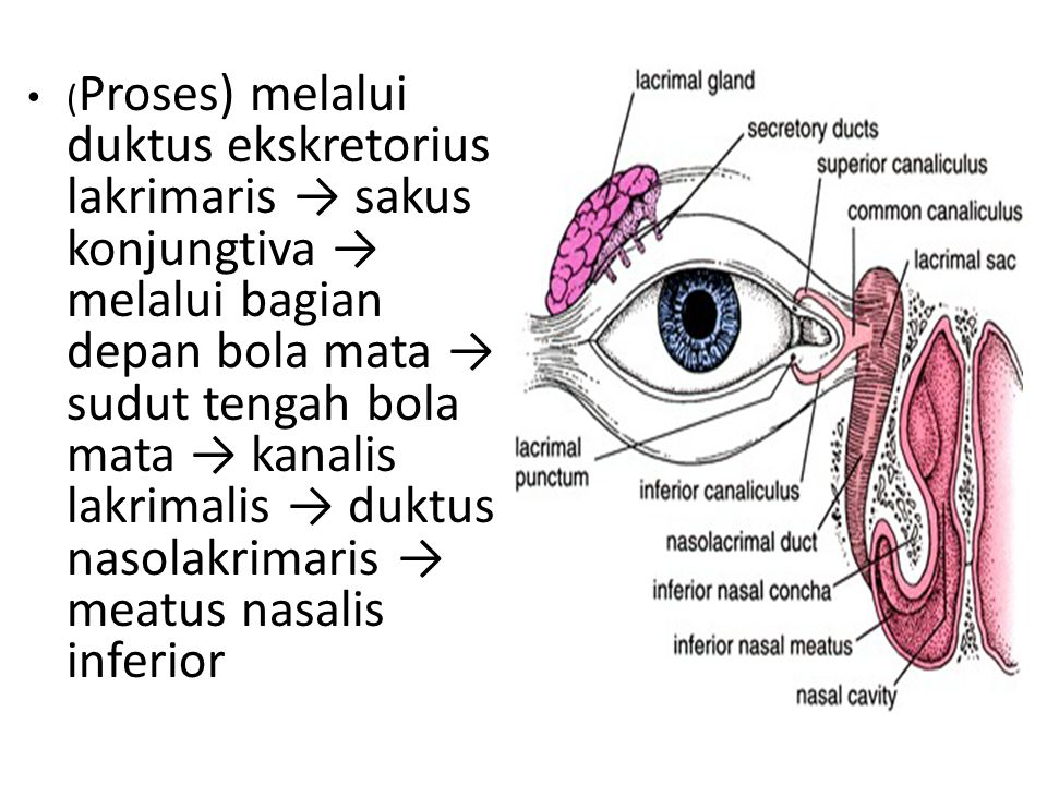 (Proses) melalui duktus ekskretorius lakrimaris → sakus konjungtiva → melalui bagian depan bola mata → sudut tengah bola mata → kanalis lakrimalis → duktus nasolakrimaris → meatus nasalis inferior