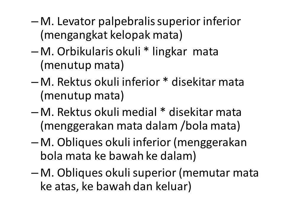 M. Levator palpebralis superior inferior (mengangkat kelopak mata)