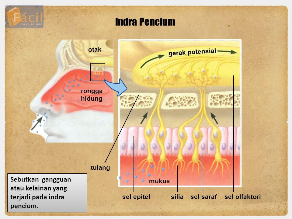 Indra Pencium otak. gerak potensial. rongga hidung. tulang. Sebutkan gangguan atau kelainan yang terjadi pada indra pencium.