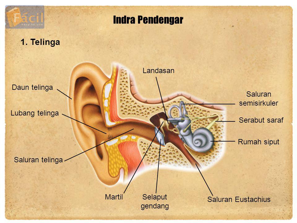 Indra Pendengar 1. Telinga Landasan Daun telinga Saluran semisirkuler