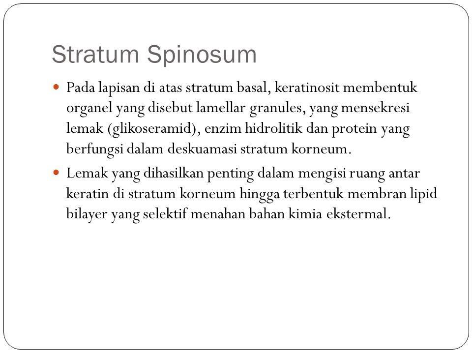 Stratum Spinosum