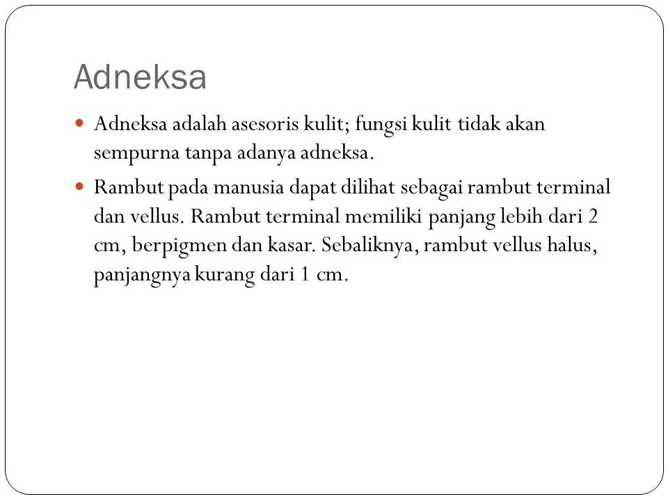 Adneksa Adneksa adalah asesoris kulit; fungsi kulit tidak akan sempurna tanpa adanya adneksa.