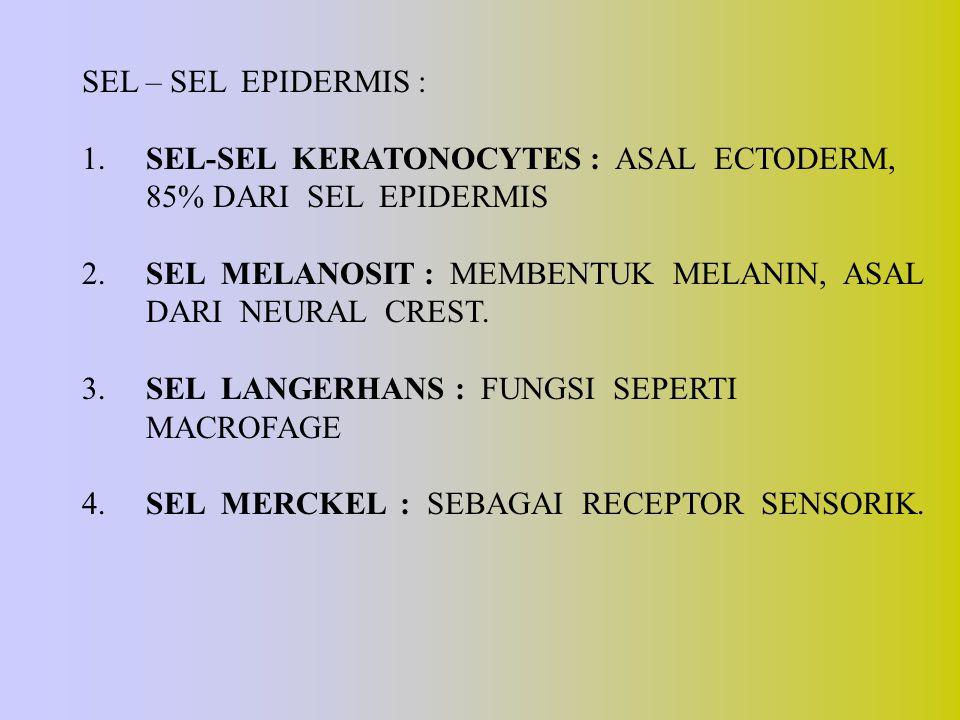 SEL – SEL EPIDERMIS : 1. SEL-SEL KERATONOCYTES : ASAL ECTODERM, 85% DARI SEL EPIDERMIS.